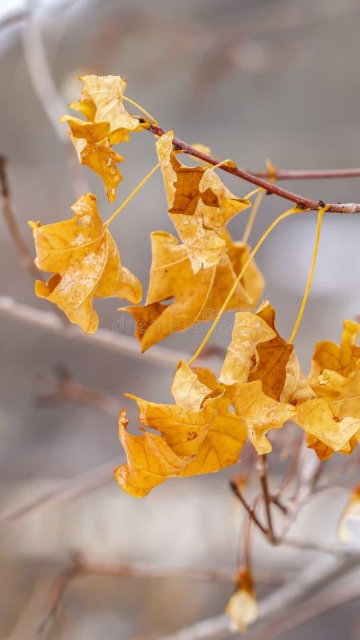 一棵树的黄色叶子的看法的垂直的关闭反对模糊的背景的 图库摄影