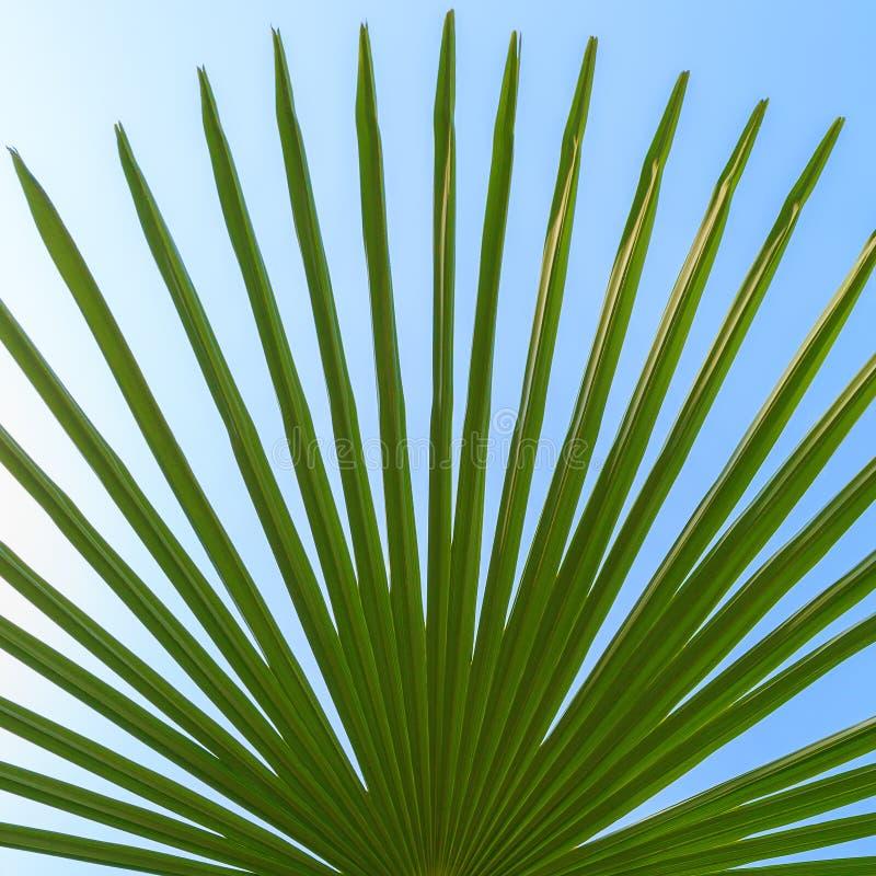 一棵棕榈树的绿色叶子在蓝天背景的图片