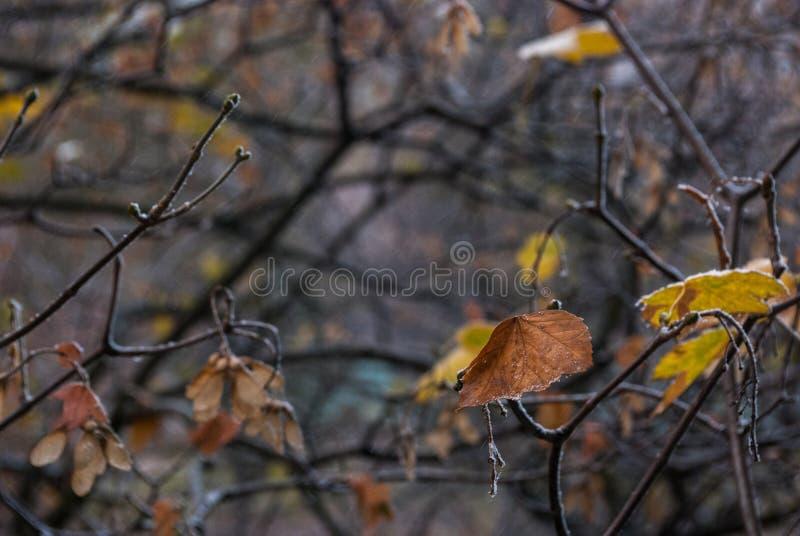 一棵槭树的干叶子在用雪水晶报道的分支的 免版税库存图片