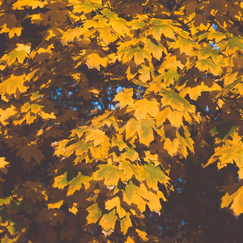 一棵槭树的黄绿叶子在一个秋天晴天,被定调子的图象 库存照片
