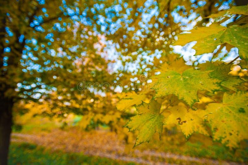 一棵槭树的黄色和绿色叶子在树的 在明亮的秋天背景的枫叶  免版税库存照片