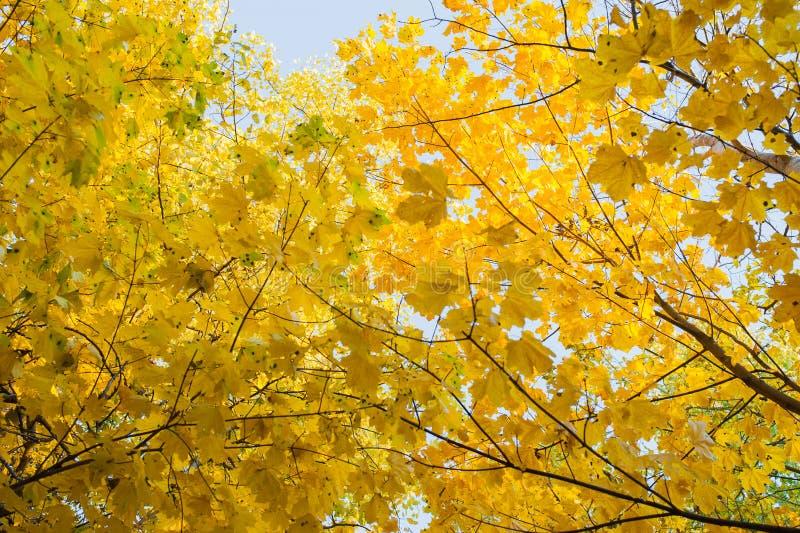 一棵槭树的黄色和绿色叶子在树的 在明亮的秋天背景的枫叶  库存照片