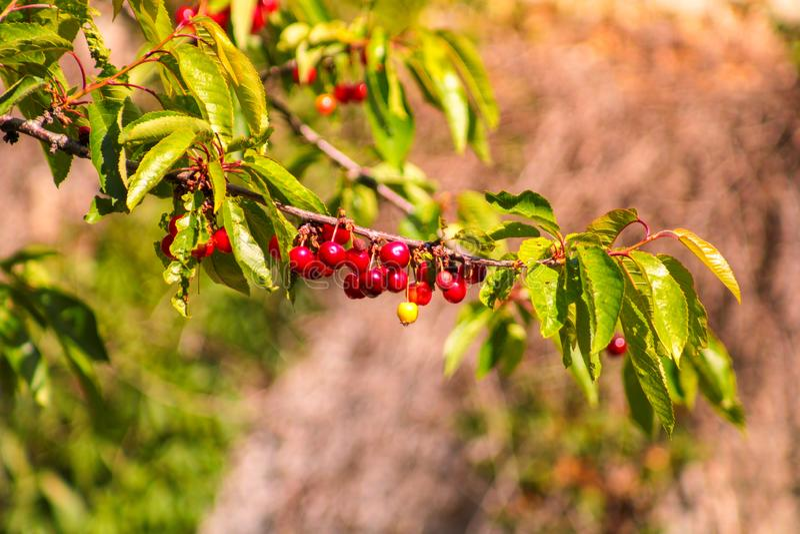 一棵樱桃树的特写镜头用红色核果 是的Mure点心的吃 图库摄影