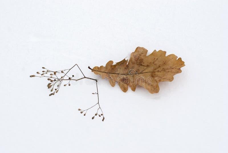 一棵橡木的叶子在雪的 免版税库存图片