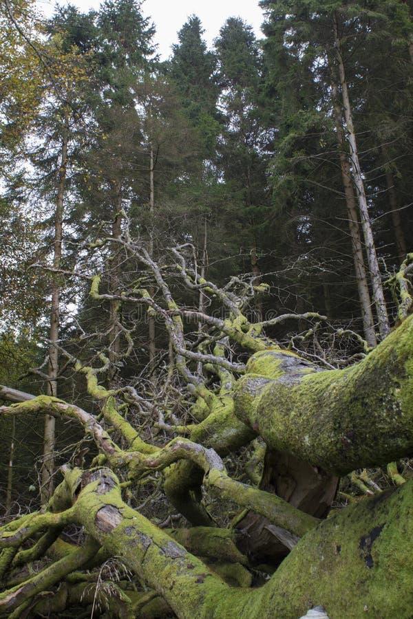 一棵死的树的被暴露的根 免版税图库摄影