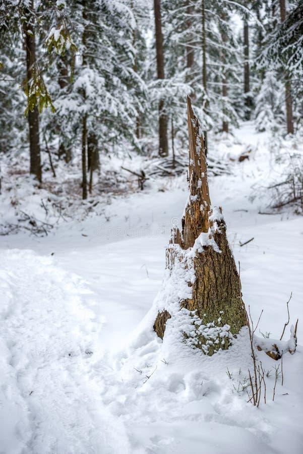 一棵残破的树的股票在杉木森林里 免版税库存图片