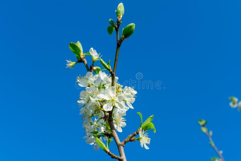 一棵洋梨树的分支与年轻绿色叶子的反对在框架,拷贝空间的角落的天空蔚蓝 库存图片