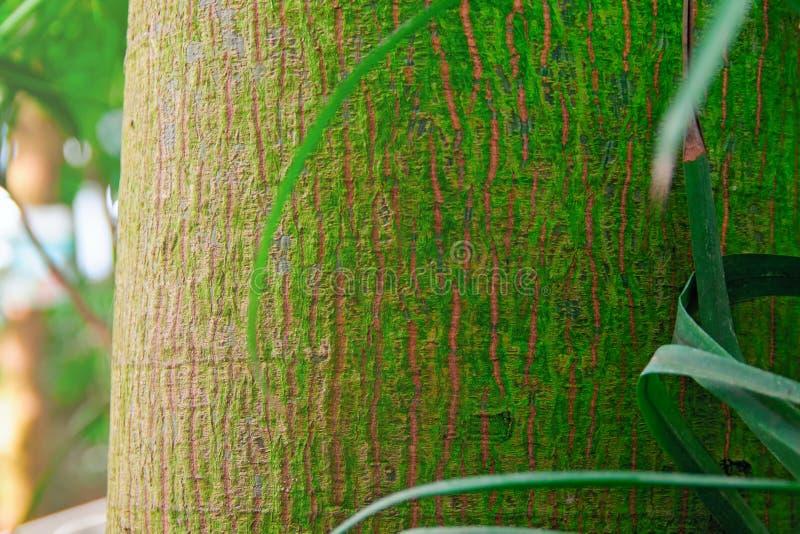 一棵热带树的树干的纹理 棕榈树树干细节热带雨林特写镜头吠声背景  免版税库存图片
