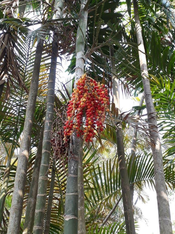 一棵狐尾棕榈树用果子 图库摄影