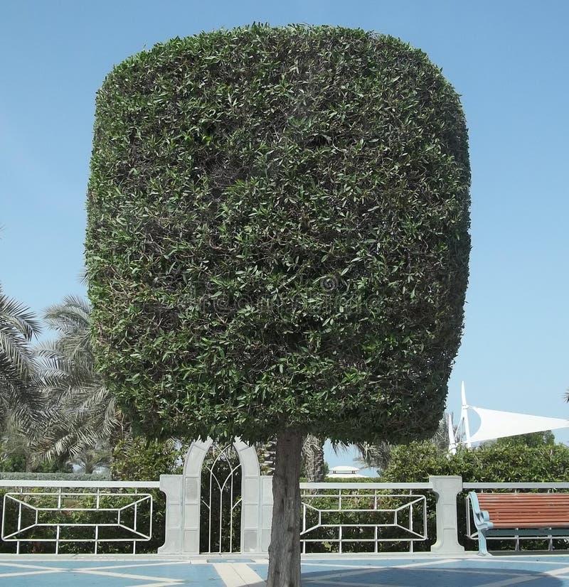 一棵独特的被整理的树在沙特阿拉伯的沙漠 库存照片