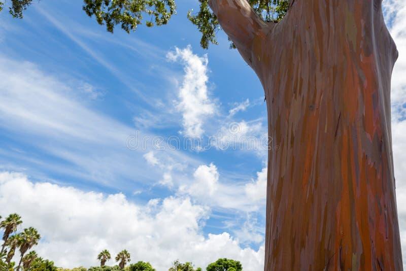 一棵玉树deglupta树的树干在夏威夷 图库摄影