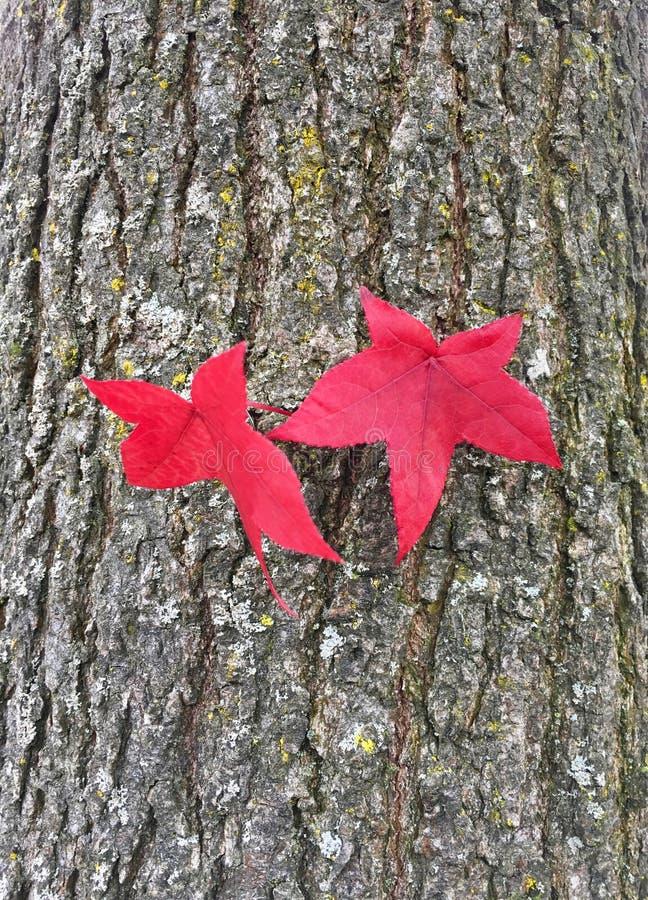 一棵琥珀色的树的美丽的红色秋天叶子 图库摄影