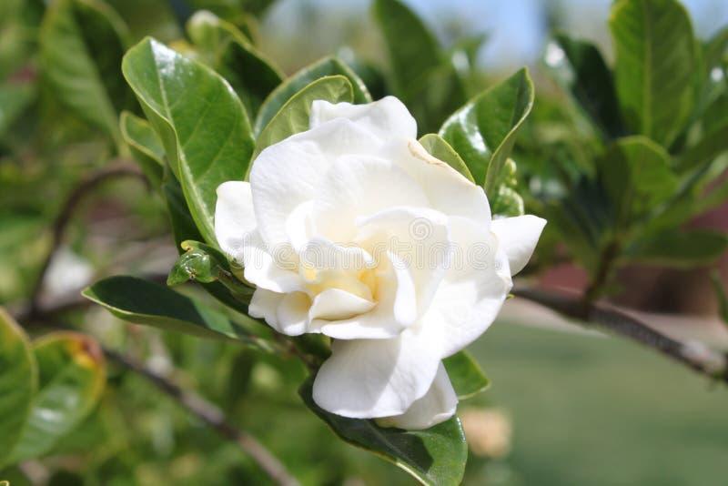 一棵白色栀子jasminoides植物 免版税库存图片