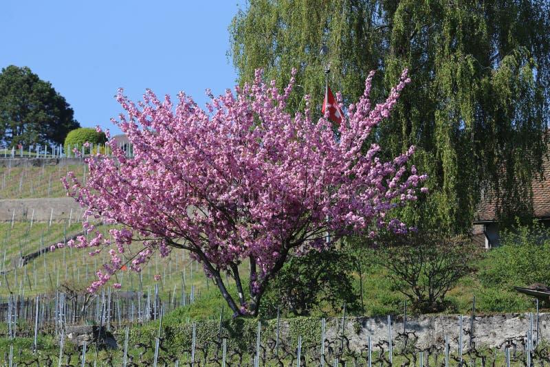 一棵盛大的树在拉沃葡萄园梯田地区瑞士 免版税图库摄影