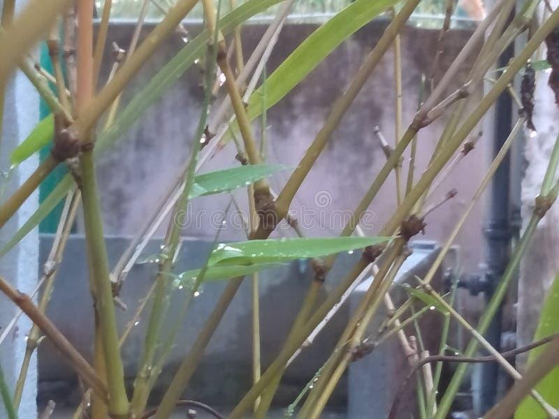 一棵竹树的看法从中部的与长的叶子 库存照片