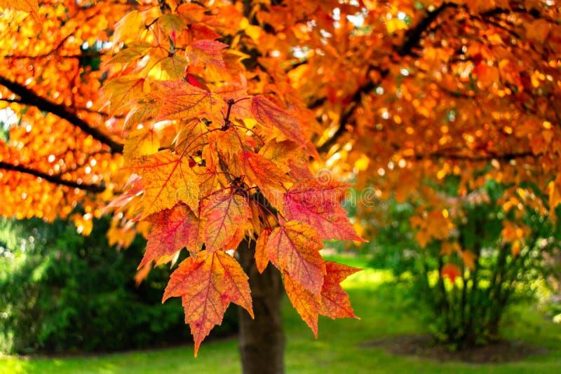 一棵红色叶子槭树的一个五颜六色的分支的特写镜头在秋天期间的 免版税库存图片