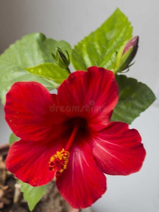 一棵红色木槿的Beautilful花,汉语上升了 库存图片