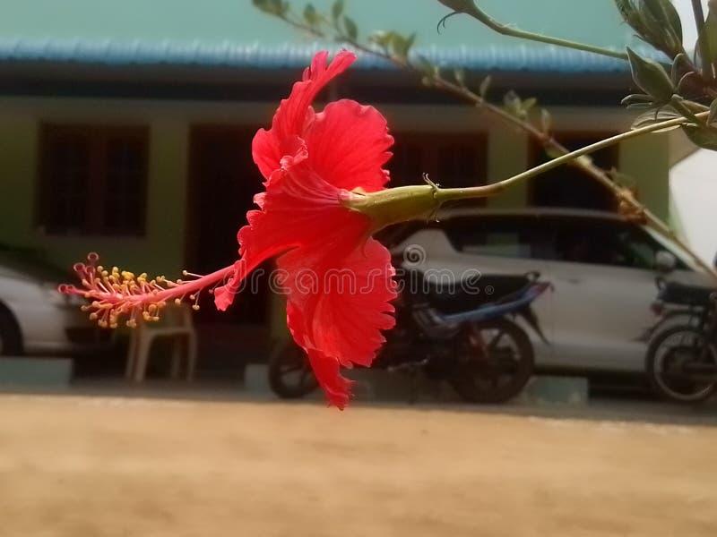 一棵红色木槿 库存照片