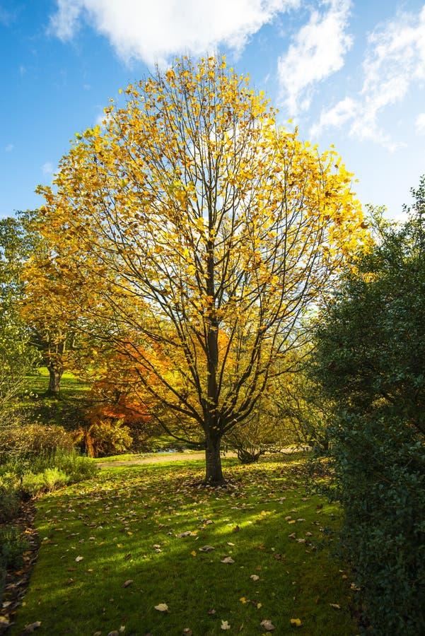 一棵美丽和对称树丢失在南部的英国parkland的秋叶 库存照片