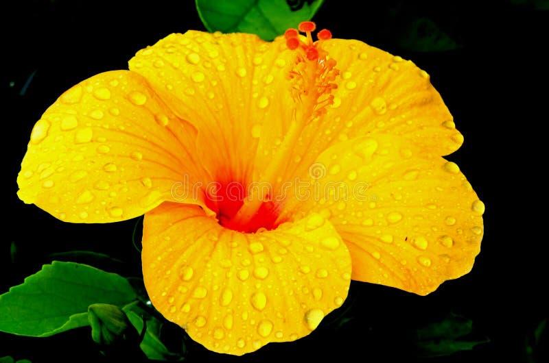 一棵美丽的木槿开花,在颜色的金黄黄色与对此的雨珠 免版税库存图片