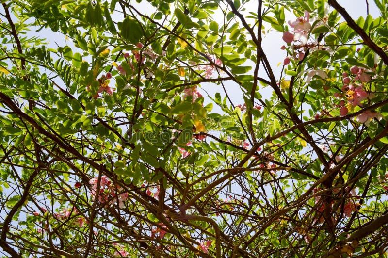 一棵美丽的树植物的纹理有分支的与与瓣和新鲜的绿色叶子的桃红色异常的花在埃及 库存照片