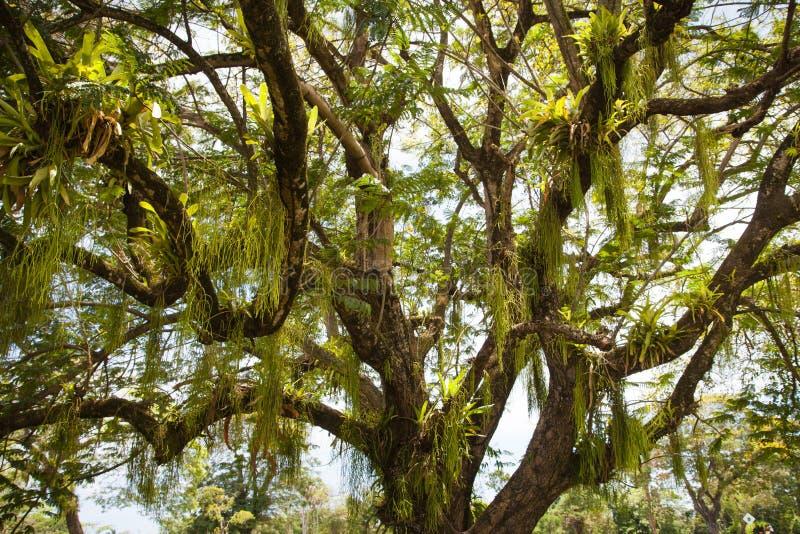 一棵美丽的树的看法与一个寄生植物的缠绕的和垂悬的叶子的反对天空蔚蓝的 库存图片