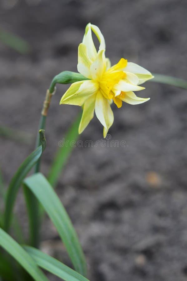 一棵美丽的水仙 有趣的花照片  免版税库存照片