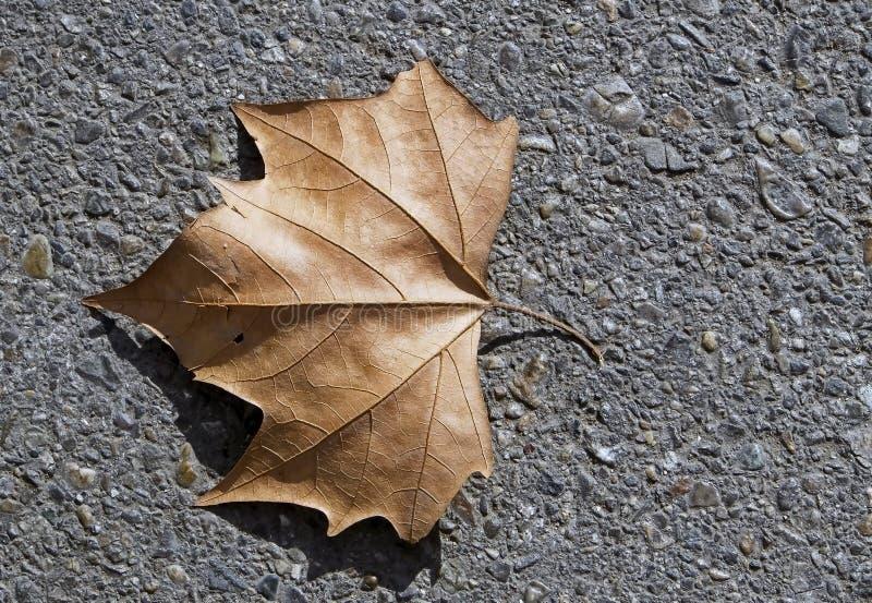 一棵美国梧桐树的干叶子在灰色沥青的 免版税库存图片