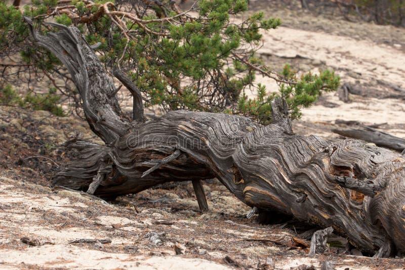 一棵老干燥树在沙子说谎 r 免版税库存照片