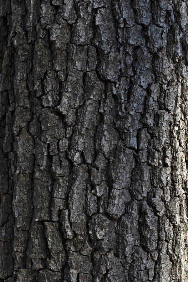 一棵老树的吠声 免版税库存图片