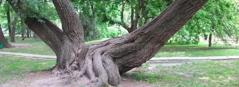 一棵老树的巨大的根在绿色公园,全景图象 库存图片