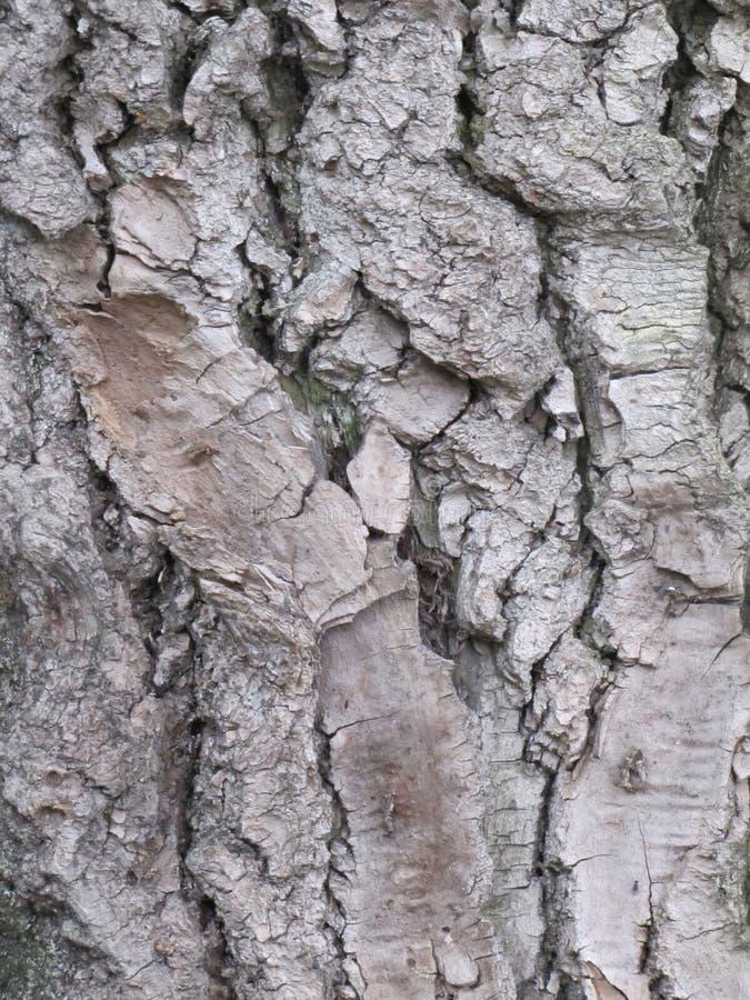 一棵老树的树干 库存图片