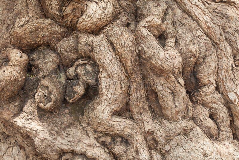 一棵老树的根 免版税库存照片