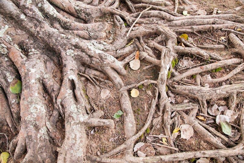 一棵老树的根 免版税库存图片