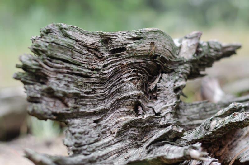 一棵老树的波浪结构 r r 免版税库存照片