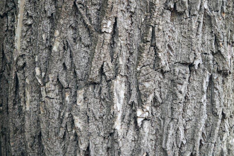 一棵老树的破裂的吠声 免版税库存照片