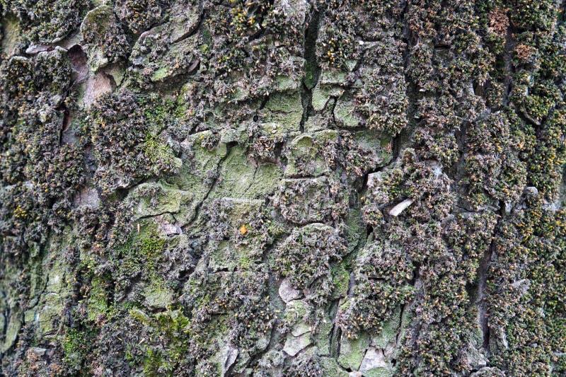一棵老树的破裂的吠声 免版税库存图片