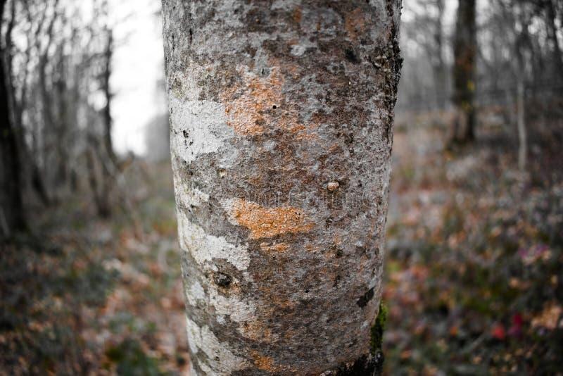 一棵老树的美丽的树干 库存照片