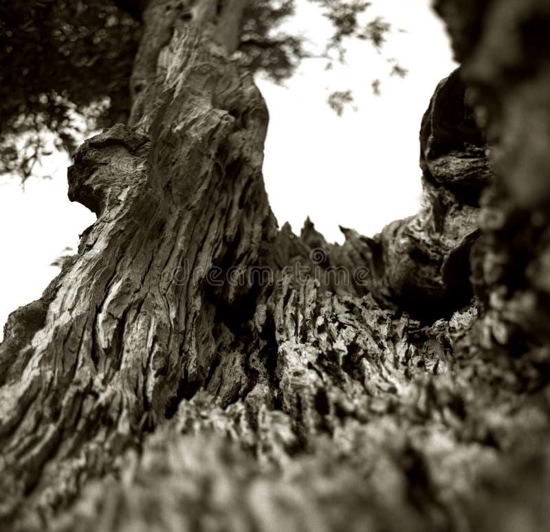 一棵老橄榄树的一根破裂的树干的内部在意大利普利亚 免版税库存照片