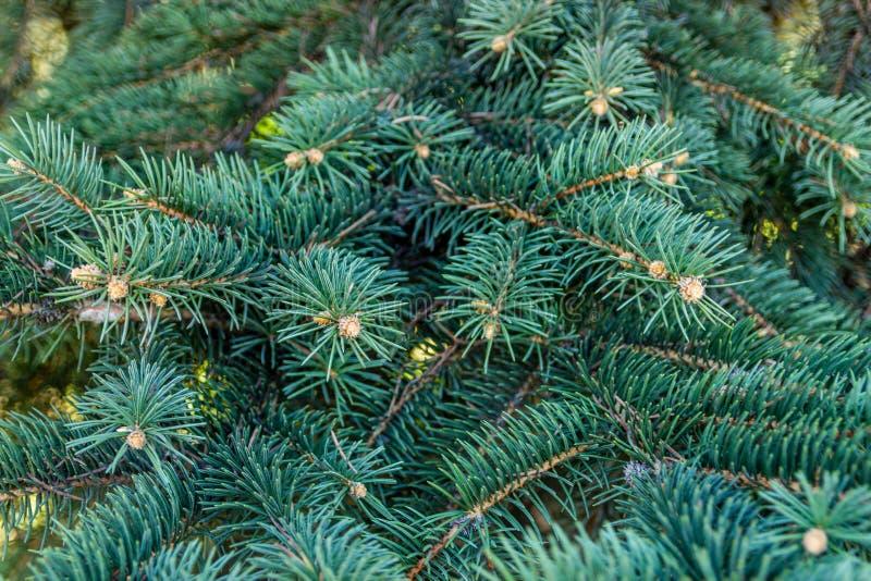 从一棵自然毛皮树的分支的背景 蓝色云杉的麸皮 库存图片