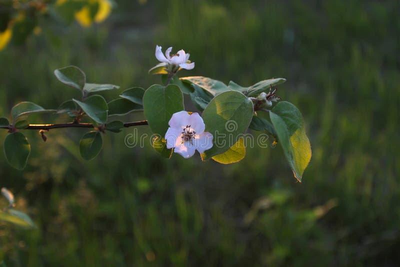 一棵苹果树的分支与开花的在backgro开花 免版税库存照片