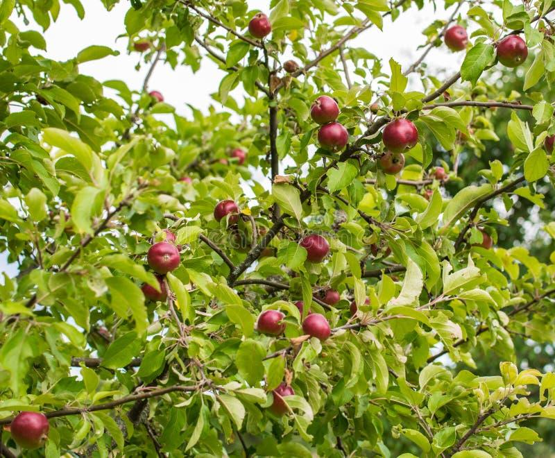 一棵苹果树的分支用苹果和叶子在庭院里 新鲜的红色苹果的特写镜头在树的 图库摄影