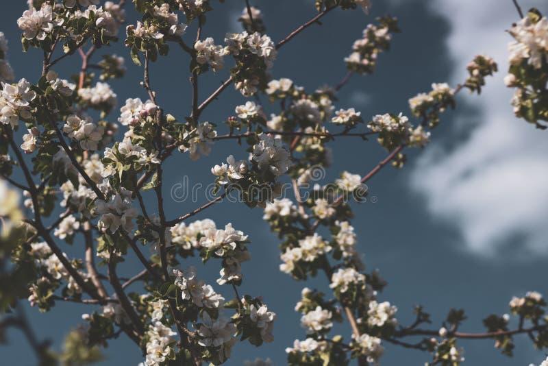 一棵苹果树的春天花在bly明白天空的 在霜以后的冻树花 库存照片