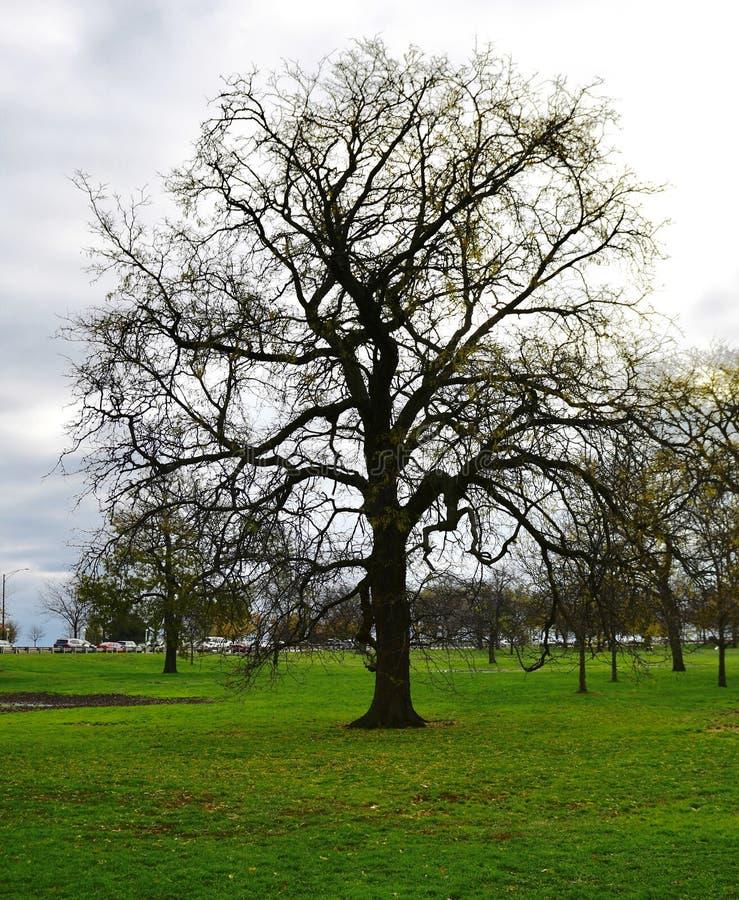 一棵落叶树 库存图片