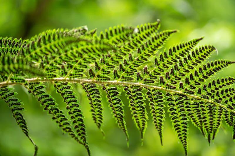 一棵蕨的事假在夏天绿色森林里 免版税图库摄影