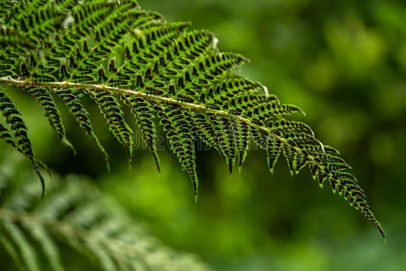 一棵蕨的事假在夏天绿色森林里 库存图片
