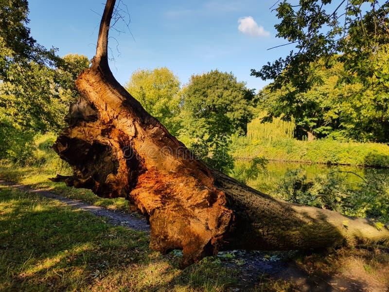 一棵被日光照射了树的特写镜头落入河 免版税库存照片