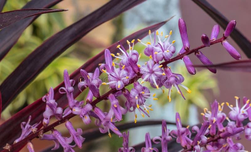一棵装饰植物的五颜六色和充满活力的Cordyline fruticosa花 图库摄影