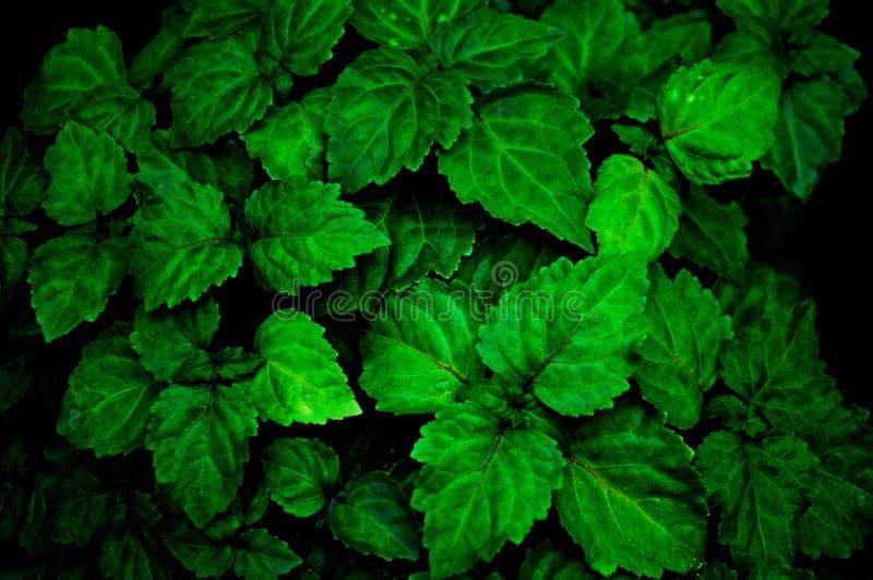 一棵豪华的健康绿色绿叶刺蕊草植物从下雨是湿的在使颜色更加强烈 库存照片