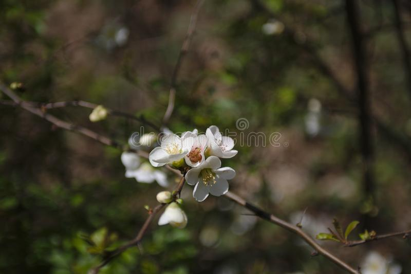 一棵野黑樱桃在春天开花树 免版税库存图片
